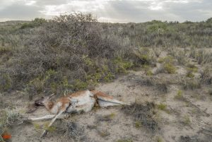 A dead Guanaco on the Valdes Peninsula in Argentina
